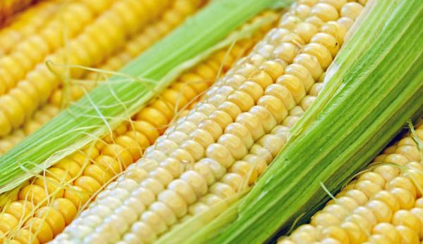 Le maïs a une valeur nutritionnelle élevée et peut aider à prévenir les maladies coronariennes, l'obésité et les calculs biliaires.(Image :pexels/CC0 1.0)