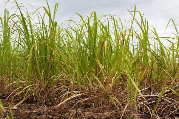 L'utilisation des feuilles de canne à sucre, appelées déchets ou paille, servant à produire de l'électricité et de l'éthanol de deuxième génération (2G) a été préconisée comme moyen pour accroître la production de bioénergie, sans pour cela étendre la superficie des terres cultivées. (Image : pixabay/CC0 1.0)