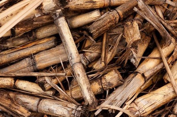 Les chercheurs brésiliens ont évalué la quantité de nutriments contenus dans les feuilles de canne à sucre abandonnées au sol après la récolte, et l'équivalent en engrais nécessaire pour maintenir le rendement des cultures lorsque la paille est enlevée. (Image : PublicDomainPictures/Pixabay)