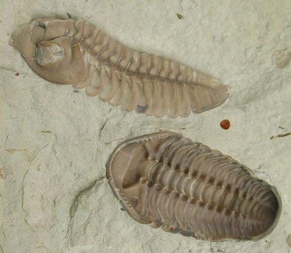 L'exosquelette d'un trilobite est divisé en trois sections. (Image :Moussa Direct Ltd./Wikimedia /CC BY-SA 3.0)