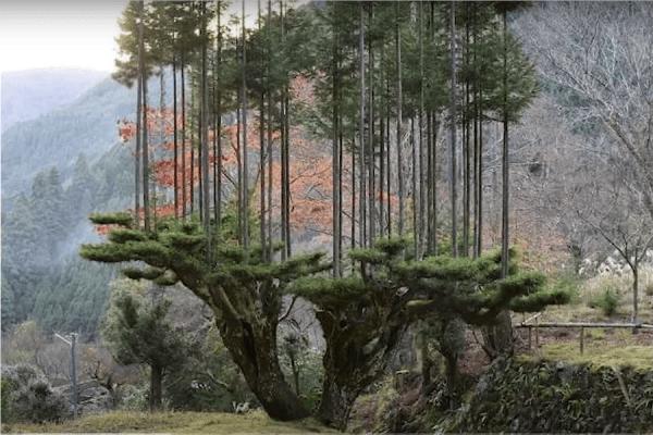 Une technique appelée daisugi permet aux Japonais de faire pousser des cèdres parfaitement droits et sans nœuds. (Image : Capture d'écran / YouTube)