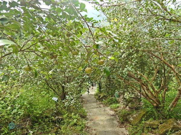 Il y a de nombreux arbres à thé (tea tree) le long du sentier historique de Caoling. (Image : Billy Shyu / Vision Times)