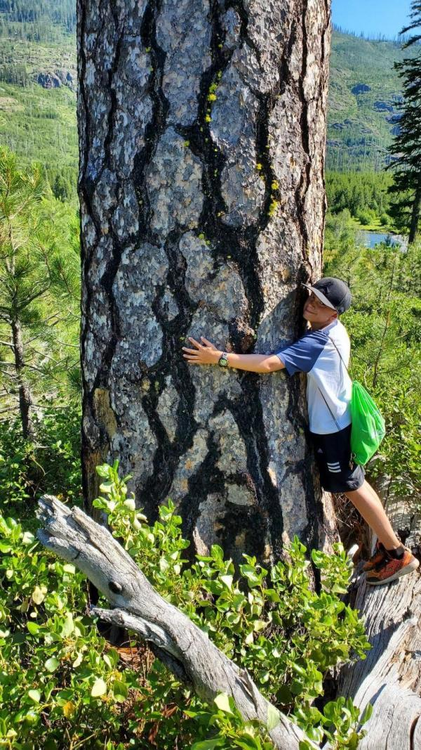 Pin ponderosa, Pinus ponderosa. (Image :