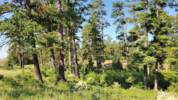 Pin ponderosa, Pinus ponderosa, et sapin de Douglas, Pseudotsugamenziesii. (Image :
