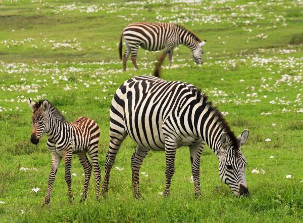 Les Somaliens exportaient des zèbres, des girafes, des chevaux, d'autres animaux exotiques, de l'encens et de l'ivoire à la dynastie Ming de Chine, tandis que les Chinois faisaient le commerce de marchandises en céladon, de mousquets et d'épices. (Image : pixabay/CC0 1.0)