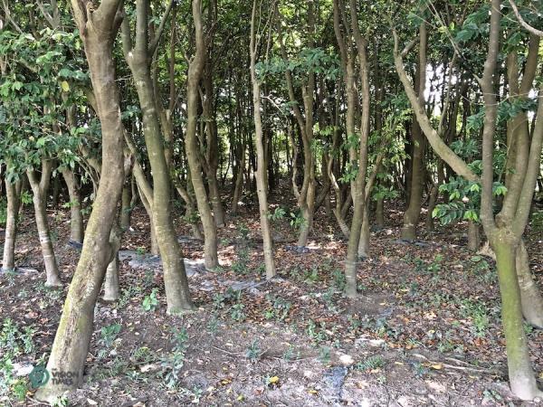 Il y a environ 20 000 arbres de bois d'agar dans la forêt du musée. (Image : Billy Shyu / Vision Times)