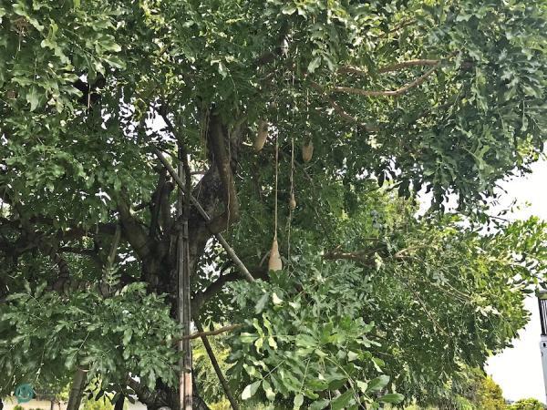 Arbres à saucisses (Kigelia africana) géants au musée de la forêt du bois d'agar de ChengLin. (Image : Billy Shyu / Vision Times)