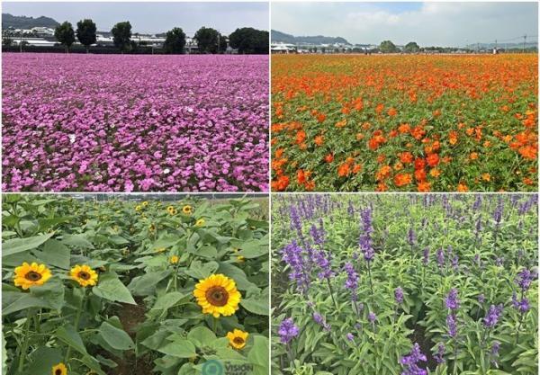 Les belles fleurs exposées au Festival international de tapis de fleurs de Taichung 2020. (Image : Julia Fu / Vision Times)