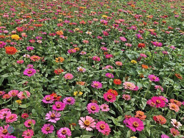 Plus de 250 000 fleurs de 10 espèces ont été exposées au festival des fleurs. (Image : Julia Fu / Vision Times)