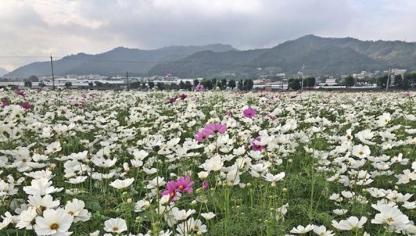 Les fleurs cosmos élancées et séduisantes au Festival international de tapis de fleurs de Taichung 2020 et la Mer de fleurs de Xinshe. (Image : Billy Shyu / Vision Times)