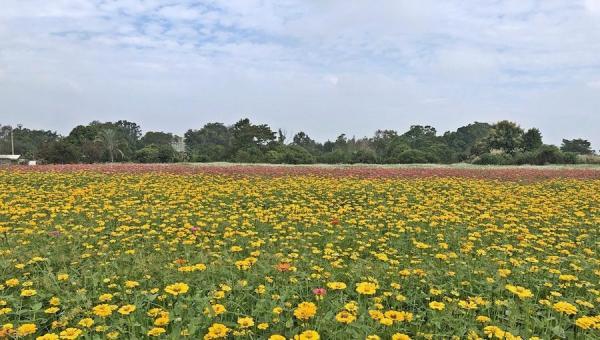 Il y avait diverses espèces de fleurs cosmos exposées au Festival annuel des fleurs à Taichung. (Image : Billy Shyu / Vision Times)