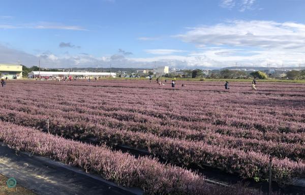 Le champ de fleurs de Mesona dans le district de Yangmei de la ville de Taoyuan. (Image: Julia Fu / Vision Times)