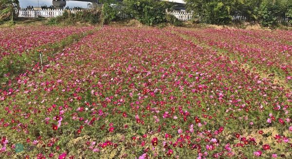 D'autres belles fleurs sont exposées au Festival des fleurs de mesona. (Image: Billy Shyu / Vision Times)