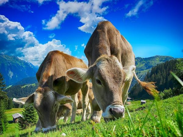 Un tiers des exploitations laitières de la région tempérée du Sud-Est devraient perdre de l'argent cette année.(Image :Pixabay/CC0 1.0)