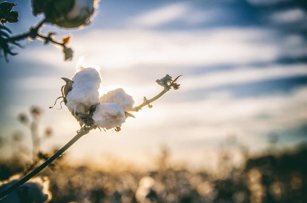 La fleur de coton, de couleur ivoire, est composée de cinq pétales. Ses fruits sont des capsules ovoïdes à quatre ou cinq loges, contenant chacune six à douze graines. (Image :bobbycrim/Pixabay)
