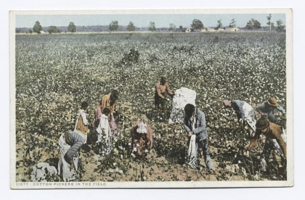 Au XVIIe siècle, la Virginie suivie par d'autres États américains et  grâce à l'exploitation humaine à l'origine du commerce triangulaire, feront de l'Amérique du nord le centre de la production du coton. (Image : wikimedia / Detroit Publishing Company / Domaine public)