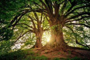 Le majestueux pin Bristlecone. Les arbres peuvent être considérés comme des créatures très anciennes par rapport aux humains. (Image :jplenio/Pixabay)