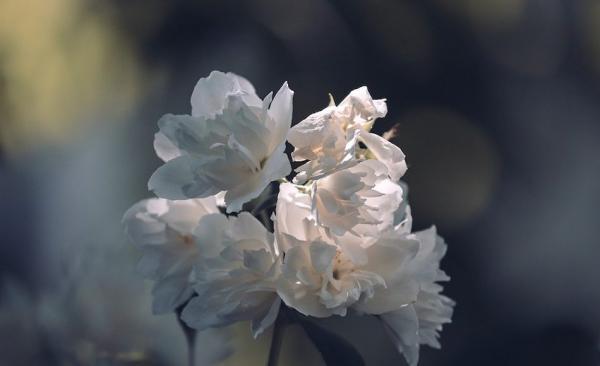 Les chercheurs soulignent que l'odeur de la fleur du jasmin  aide à la détente et qu'elle est plus efficace que de nombreux sédatifs. (Image : Manfred Richter/Pixabay)