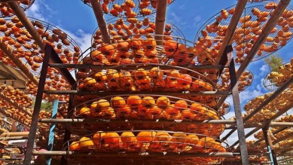 Une impressionnante ferme d'exploitation de kakis à Taïwan