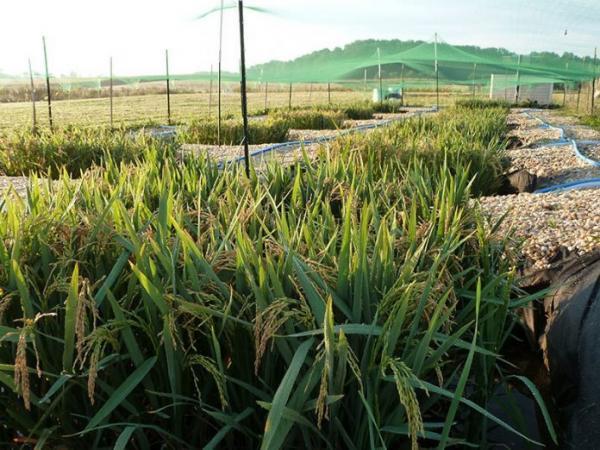 Selon une récente étude sur le riz menée par Angelia Seyfferth, des éléments comme l'arsenic et le cadmium peuvent être présents dans les rizières où le riz est cultivé. (Image : Matt Limmer)