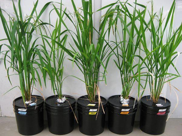 Plants de riz en culture hydroponique, c'est-à-dire dans un substrat neutre et inerte , avec différentes concentrations d'arsenic et de silicium. (Image: Matt Limmer)