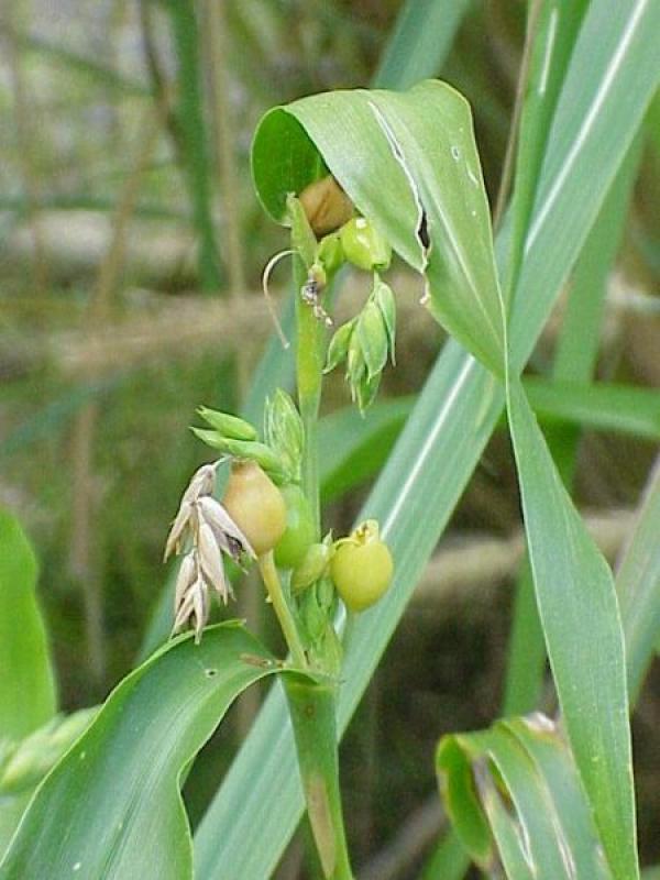La larme de Job (Coix lacryma-jobi), également connue sous le nom de millet adlay, est une plante tropicale vivace à hautes tiges céréalières de la famille des Poaceae (famille des graminées). (Image : wikimedia /CC-BY-SA-3.0)