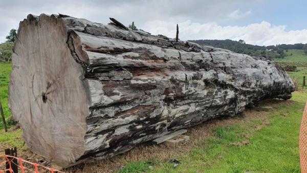 A l'aide d'un ancien rondin de kauri (arbre de la famille des araucariacées) de Ngāwhā, en Nouvelle-Zélande, les scientifiques ont daté le moment et les impacts environnementaux du dernier changement de pôle magnétique. (Image : Nelson Parker / www.nelsonskaihukauri.co.nz)
