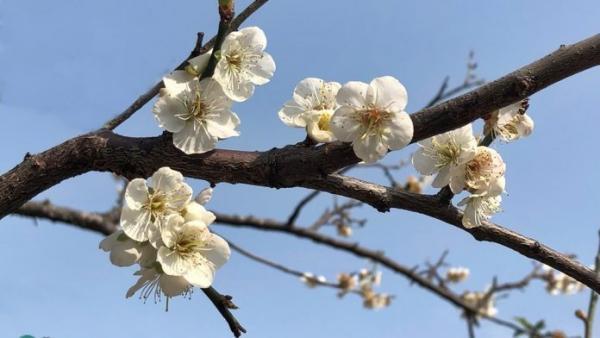 Taiwan est connue pour ses belles fleurs de prunier. La fleur de prunier symbolise l'esprit de résilience face à l'adversité. C'est la fleur nationale de Taïwan (Image : Billy Shyu / Vision Times)