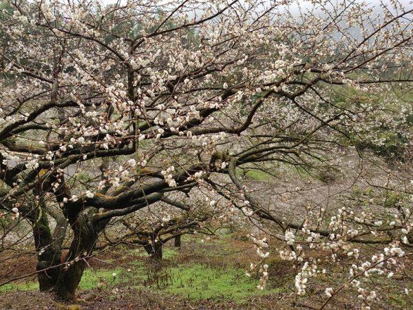 Les belles fleurs de prunier dans le canton de Xinyi, dans le comté de Nantou, dans le centre de Taiwan. (Image : avec l'aimable autorisation de Zhang Bingqian)