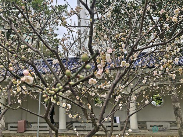 Le prunier rose Gong-Fen fleurit dans la résidence officielle Shilin à Taipei. (Image : Billy Shyu / Vision Times)