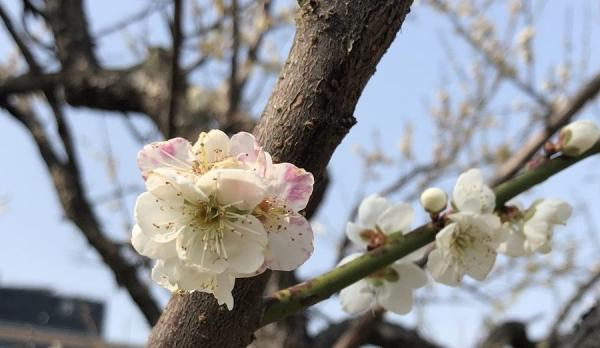 Les fleurs de prunier sont particulièrement importantes pour les Taiwanais en raison de la situation politique particulière du pays. (Image : Billy Shyu / Vision Times)