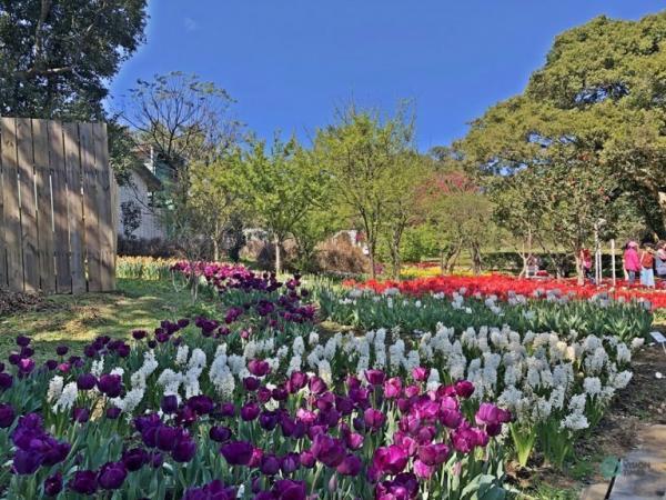 Les splendides tulipes exposées au centre d'expérimentation floricole de Taipei. (Image : Julia Fu / Vision Times)