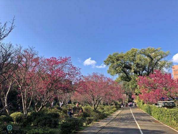 Les fleurs de cerisier sont en pleine floraison au centre d'expérimentation de la floriculture de Taipei. (Image : Billy Shyu / Vision Times)