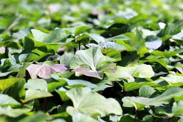 La valeur nutritionnelle des feuilles de patate douce est élevée. (Image : manseok Kim / Pixabay)