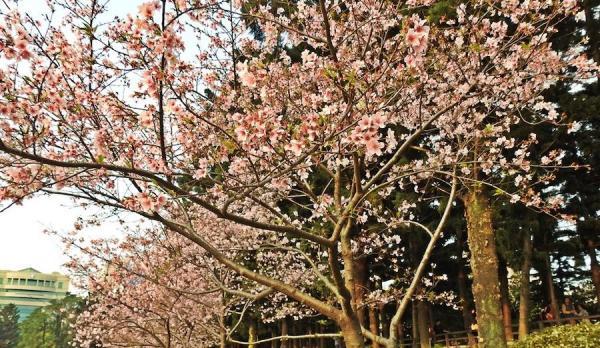 Fleurs de cerisier au parc commémoratif de Chiang Kai-shek. (Image : Billy Shyu / Vision Times)