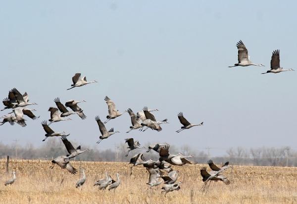 En tant qu'oiseaux migrateurs, les grues parcourent de longues distances à la fin de chaque hiver pour rejoindre les régions arctiques et subarctiques. (Image :ladymacbeth/Pixabay)