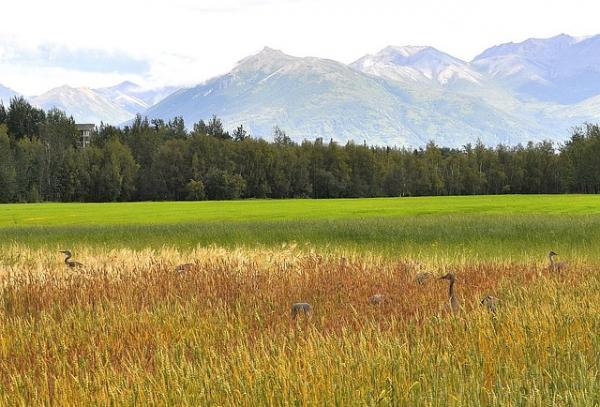 Les grues trouvent des résidus de récoltes, notamment de céréales dans les champs de culture, ce qui les aide à reconstituer les réserves nécessaires pour migrer sur de longues distances. (Image :Rex Landingham/Pixabay)