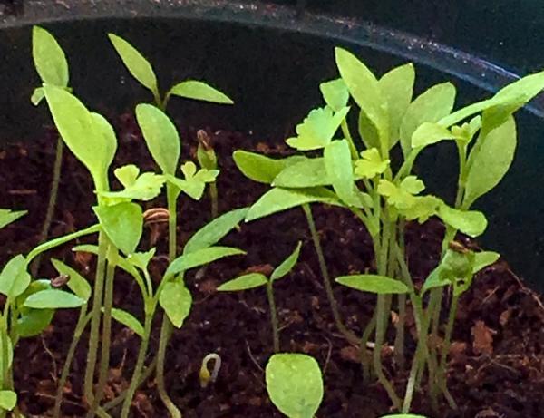 Le persil apparaîtra d'abord comme on le voit sur la photo. Lors du jardinage printanier à partir de semences, vous serez en mesure de reconnaître les semis émergents, surtout si vous semez à l'extérieur, où vous devrez les distinguer de la multitude de semis spontanés qui rivaliseront avec les vôtres. (Image :SBT4NOW/Flickr/ CC BY-SA 2.0)