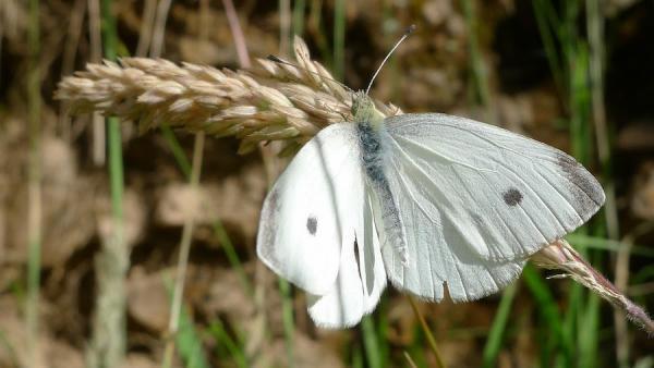 Un papillon blanc mâle de la rave à Dargo, en Australie. Lapiéride de la raveest la chenille de ce papillon. Les poules et les oiseaux chanteurs sont utiles pour lutter contre ces parasites. (Image :John Tann/Flickr/ CC BY 2.0)