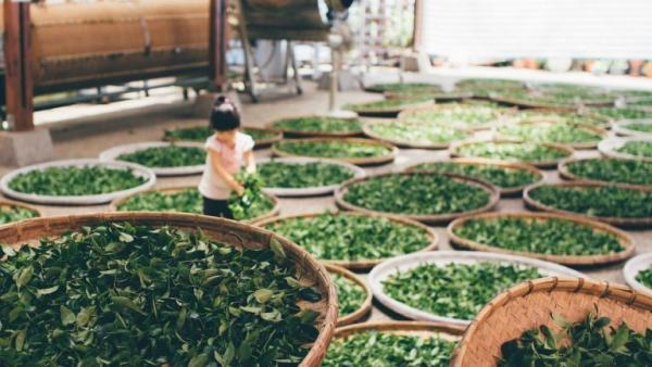 Les amateurs de thé seront peut-être surpris d'apprendre que le thé provient d'une seule plante, le buisson Camellia sinensis. Le thé est l'une des rares cultures dont la cueillette s'effectue principalement à la main. (Image :蔡 嘉宇/Unsplash)