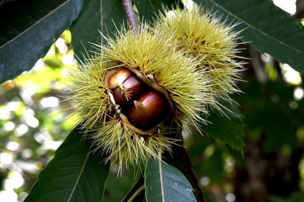 Les vertus de la châtaigne l'un des meilleurs fruits secs