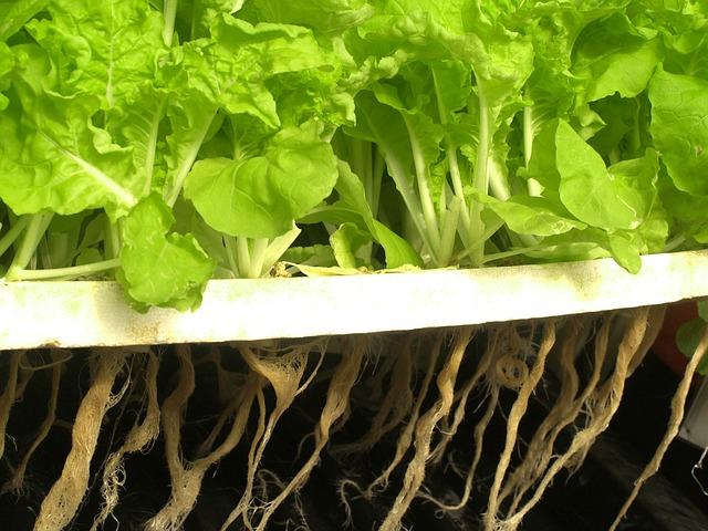 Légumes asiatiques cultivés chez soi dans une windowfarm avec du vermicompost