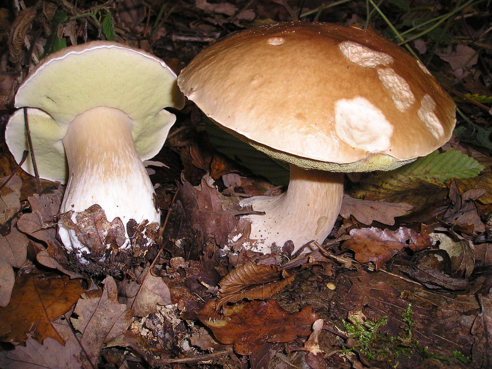Les vertus médicinales des champignons dans le traitement et la prévention du cancer
