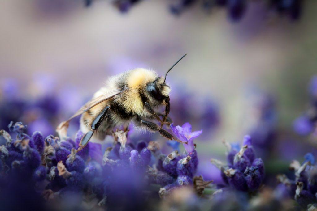 Quatre choses à faire pour favoriser le retour des abeilles