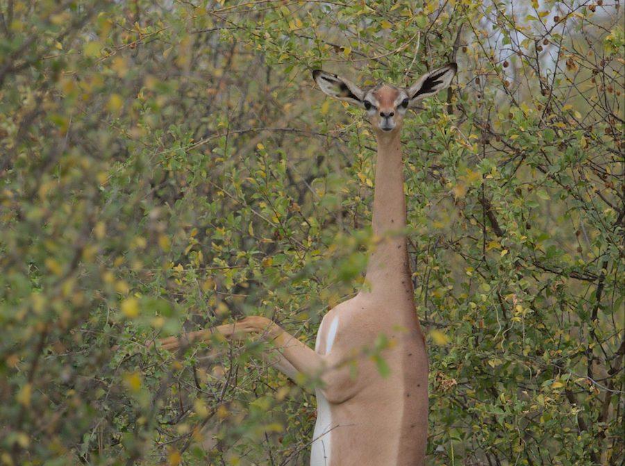 Le Gérénuk : une antilope à cou de girafe qui parvient à survivre sans eau