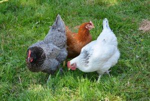 Poules de basse-cour: animaux de compagnie utiles, faciles et amusants